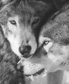 wolves.                                                                                                                                                                                 Plus