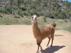 wikiHow to Tell a Llama from an Alpaca -- via wikiHow.com