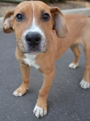 Buster is an adoptable Basset Hound Dog in Ozone Park, NY. Buster is 4 month old Basset hound mix from a TN high kill shelter. How could anyone euthanize this dog is beyond us? He is now waiting patie...