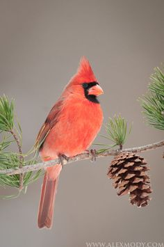 Northern Cardinal photo - Healty fitness home cleaning Pretty Birds, Beautiful Birds, Animals Beautiful, Exotic Birds, Colorful Birds, All Birds, Love Birds, Cardinal Pictures, Northern Cardinal