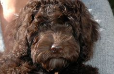 The Australian Labradoodle is a breed that has become increasingly more popular over the years. The breed was born in 1988 when an Australian breeder by Austrailian Labradoodle, Miniature Australian Labradoodle, Red Labradoodle, Labradoodle Breeders, Chocolate Labradoodle, Labradoodles, Goldendoodles, Labrador Retriever Dog, Animal Design