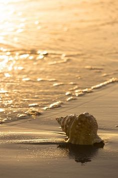 Love this photo of a gorgeous sea shell on a sunset beach. Never have found a shell this nice just laying on the shore! Beach Bodys, Jolie Photo, Ocean Life, Ocean Beach, Sea Creatures, Under The Sea, Beautiful Beaches, Strand, Sea Shells