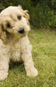 Cockapoo Dog Breed Information, Pictures, Characteristics & Facts – Dogtime Dog Breeds Pictures, Funny Dog Pictures, Dog Quotes Funny, Dog Memes, Dogs Funny Husky, Cocker Spaniel Poodle, Funny Dog Faces, Best Dog Names, Dog Tumblr