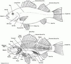 basic fish diagram (fins labeled) fish lesson pinterest fish Fish Food Diagram it is i, the mad scientist! join me and my minions as we study some of god\u0027s amazing creatures; learning tons of fun facts along the way