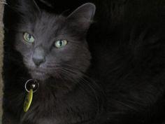 Sassy Domestic Long Hair-Gray Cat | Atascadero CA Grey Cats, Losing A Pet, Used Cars, Sassy, Adoption, Lost Pets, Long Hair Styles, Dogs, Washington