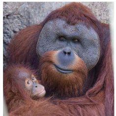 Male Orangutan and baby