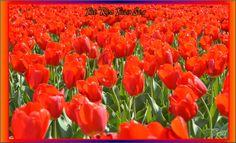 The Red Tulip Sea by Taures-15.deviantart.com on @deviantART