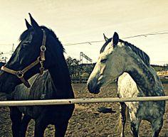 #konie #horses #black&white #hipodrom #sopot