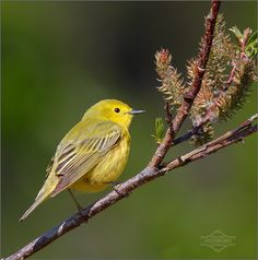 Yellow Warbler and Willow by kdee64, via Flickr