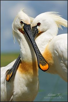 The Eurasian Spoonbill is a wading bird, migrating in winter to the tropics (usually to Africa). However, some birds stay in mild winter areas of Europe N to the UK. Kinds Of Birds, All Birds, Love Birds, Pretty Birds, Beautiful Birds, Animals Beautiful, Exotic Birds, Colorful Birds, Animals And Pets