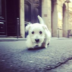 Doggy! #westie