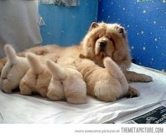 Ahhhh....I used to raise Chow-Chows, reds & blacks, so adorable....Love the black tongues!  <3