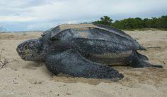 Massacre de tortues luth en Amérique du Sud