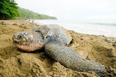 Cazadores furtivos de tortugas matan activista en Costa Rica. Visite nuestra página y sea parte de nuestra conversación: http://www.namnewsnetwork.org/v3/spanish/index.php
