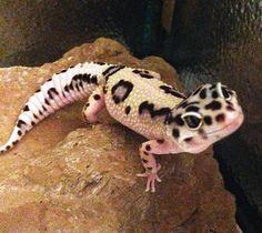 Lepord Gecko, Leopard Gecko Cute, Cute Gecko, Leopard Gecko Habitat, Baby Leopard, Pretty Animals, Cute Little Animals, Cute Funny Animals, Cute Reptiles