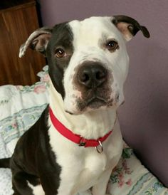 Meet Marshall, a Petfinder adoptable Shar Pei Dog | Lisbon, OH | Hello. My name is Marshall. I'm about 1 year old and I weigh about 60 lbs.I was found as a stray in...