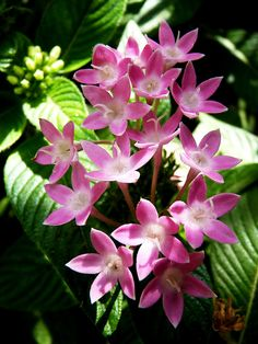 Pentas like full sun