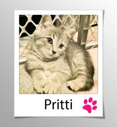 AVAILABLE FOR ADOPTION - PRITTI! (Female light tabby kitten)  This litter of five (Bijou, Gretel, Hansel, Joujou, and Pritti) are vaccinated and ready for adoption. They have beautiful faces, are healthy, and have adorable personalities. Please email catwhisperer@sympatico.ca if you would like to find out about our next adoption day or meet one of these kittens in its foster home.   www.facebook.com/cause4paws