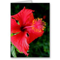 Red Hibiscus ~ Rarotonga, Cook Islands.  Order this greeting card online at:  http://www.zazzle.com/red_hibiscus_greeting_card-137568880957896172?CMPN=addthis=en=238311079581147952