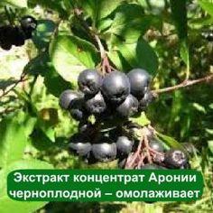 Натуральный антиоксидантный СО2 экстракт (жидкий) Аронии черноплодной для создания антивозрастной косметики. Избавление от купероза, прыщей, целлюлита.