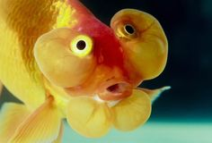 different big goldfish - Google Search