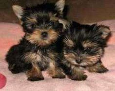 pictures of Yorkie puppies - Google Search