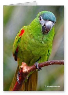Hahn's mini-macaw by walkswithnature @whuisim