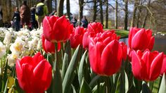 Tulips, which originate from both Turkey and Iran, were introduced in Holland in the 16th century. The first bulbs were given as a present to the Dutch ambassador in Turkey.