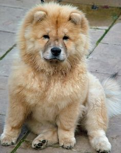 pom chow puppies | Gemma the Chow Chow Mix | Dogs | Daily Puppy