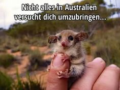 Funny pictures about Western Pygmy Possum. Oh, and cool pics about Western Pygmy Possum. Also, Western Pygmy Possum photos. Animals And Pets, Baby Animals, Funny Animals, Cute Animals, Animal Babies, Wild Animals, Cute Creatures, Deadly Creatures, Funny Animal Pictures
