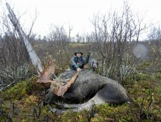 Moose, Anárjohka National Park, Norway. www.inatur.no/storviltjakt/51714eb1e4b05a11169a3d4b/unik-elgjakt-i-anarjohka-nasjonalpark-en-opplevelse-for-livet | Inatur.no