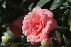 Middlemist-Red-©-Clare-Kendall camellia - Rare