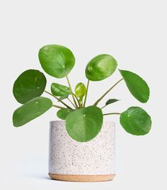 Sweet Dreams: The Best Plants for Bedrooms Will Help You Sleep Better Greenery NYC Pilea Peperomioides / Bedside plant? Organic Gardening, Gardening Tips, Indoor Gardening, Gardening Services, Gardening Vegetables, Best Plants For Bedroom, Plantas Indoor, Chinese Money Plant, Apartment Plants