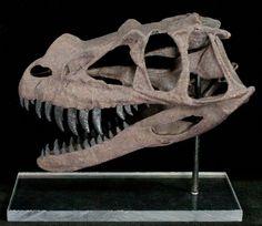 Miniature 3D Printed Ceratosaurus Skull Replica - Photo 2