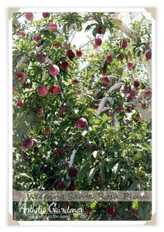 Weeping Santa Rosa Plum - fruit a lot 2016 - picked 6/26/16 -dropped most by 7/25/16.  Pluot was earlier - yellow one did not seem to ripen.