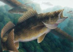 walleye pictures | 2012 Minnesota Walleye Stamp