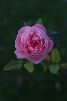 Rose by Sabri KOÇ on 500px