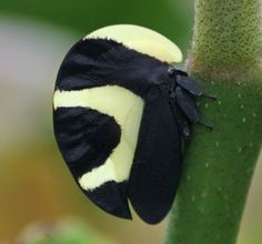 treehopper (portuguese helmet) insect