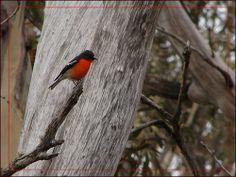 Flame Robin in Australian alpine forest, in winter