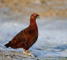 red grouse              Gordon Linton