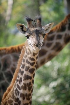 Fun fact: Giraffe calves grow 1 inch (2.54 centimeters) each day during their first week.