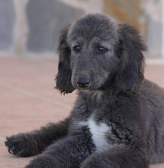 What are you even waiting for? Print this shizz out and bring it to the nearest salon. Afghan Hound Puppy, Hound Dog, Hound Puppies, Pointer Puppies, Most Beautiful Dogs, Happy Dogs, Dog Grooming, Best Dogs, Dog Breeds