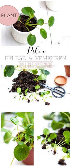 gl ckstaler chinesischer geldbaum ufopflanze bauchnabelpflanze pilea peperomioides gibts. Black Bedroom Furniture Sets. Home Design Ideas