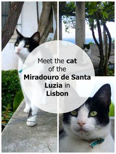 Meet the cat of the Miradouro the Santa Luzia in Lisbon, Portugal. Click here to see the photo series: http://www.traveling-cats.com/2016/06/cat-from-lisbon-portugal.html (Lisbon, Portugal, miradouro, Miradouro de Santa Luzia, cat, Lisbon photo series)