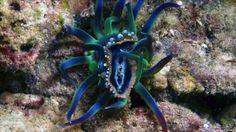 Toxic Nudibranchs | Phyllidia ocellata sea slug caught in an anemone's tentacles (c) B ...