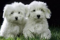 Coton de Tulear puppies!  The next dog I want is one of these. I have wanted one for many years :)
