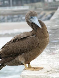 Brown booby sex