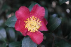 The Gardens, Red camellia.
