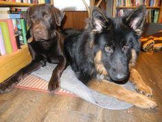 Altdeutscher Schäferhund / German Shepherd Dog Puppy an his friend a labrador