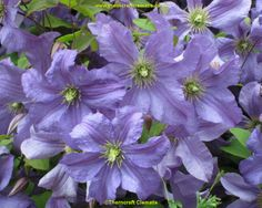 Clematis Viticella 'Prince Charles'